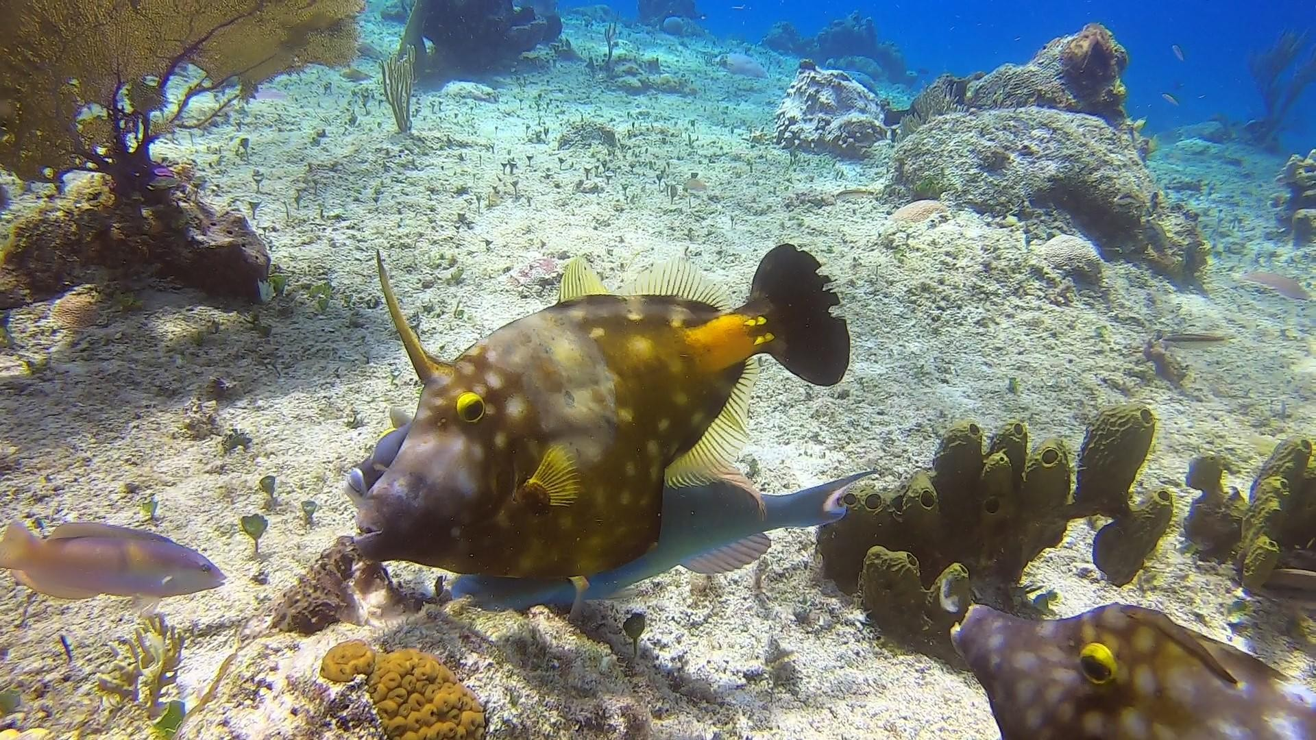 Whitespotted Filefish on the reef at Dive Boutique Cozumel