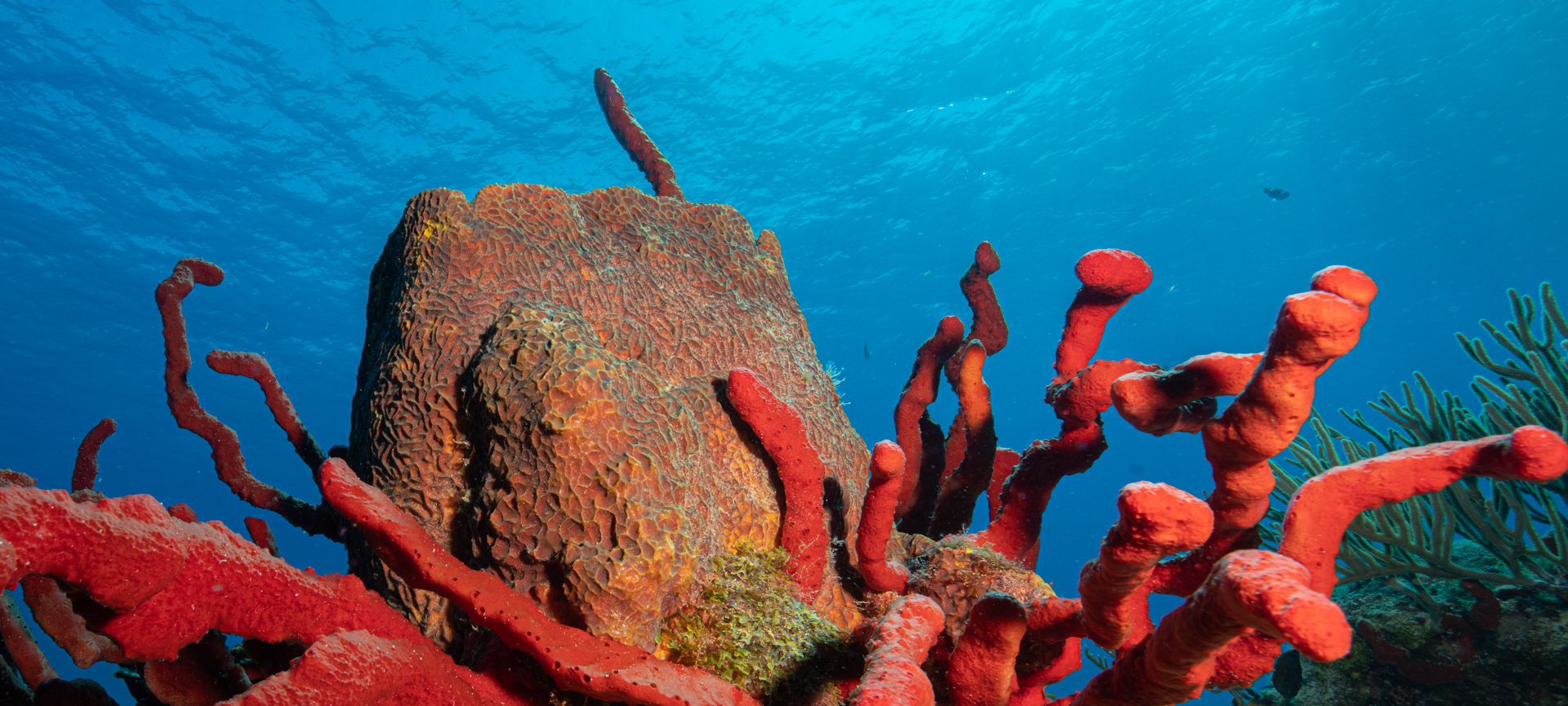 Barrel Sponge on a  Cozumel reef