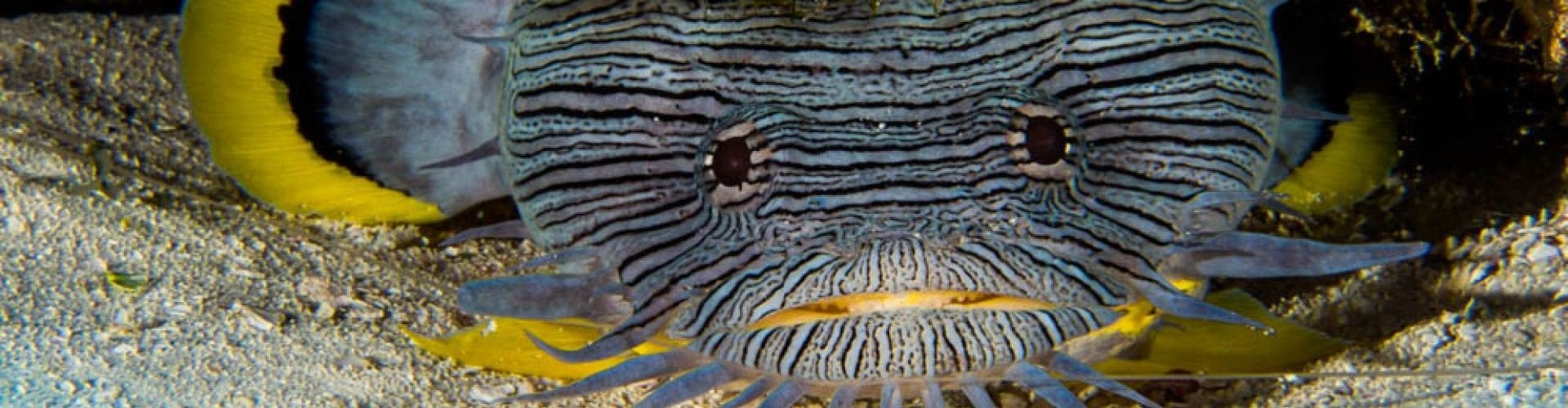 Cozumel Splendid Toadfish